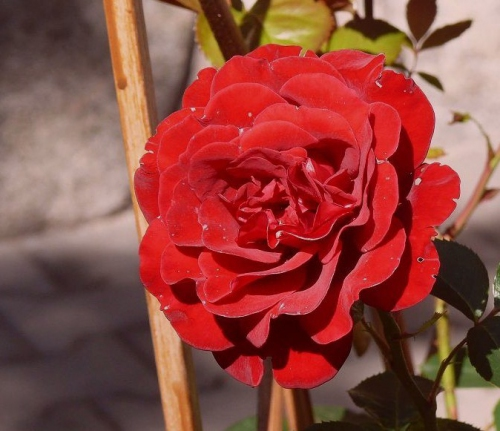 P1130305 Rosa.jpg